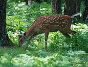 Пятнистый олень в Приокско-террасном заповеднике