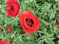 פרחי פרג בכפר נין 06.jpg