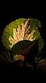 گل و برگ گیاه حسن یوسف-Coleus 05.jpg