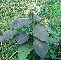 ফুলসহ ভাঁট গাছ Clerondendron viscosum.2.jpg