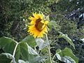 ดอกทานตะวัน - panoramio.jpg