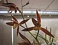 報歲綠桿紅花 Cymbidium sinense 'Red-Flower Green-Stalk' -香港沙田國蘭展 Shatin Orchid Show, Hong Kong- (24825873610).jpg