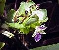 多蒂彩虹竹芋 Calathea roseopicta 'Dottie' -香港公園 Hong Kong Park- (14503234440).jpg