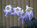 大根報春苣苔 Primulina macrorhiza -香港動植物公園 Hong Kong Botanical Garden- (46496828601).jpg