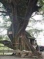 大榕树粗壮的树干 - panoramio.jpg