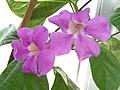 大紫葳 Saritaea magnifica -香港公園 Hong Kong Park- (9200912760).jpg