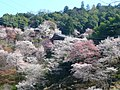 如意輪寺の桜 吉野町吉野山 Cherry trees of Nyoirinji 2010.4.08 - panoramio.jpg
