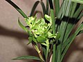 春蘭宋蝴蝶 Cymbidium goeringii 'Sung Butterfly' -香港沙田國蘭展 Shatin Orchid Show, Hong Kong- (12316833943).jpg
