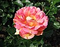 月季 Rosa Augusta Luise -深圳人民公園 Shenzhen Renmin Park, China- (27960975547).jpg