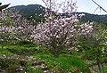 木蓮花 Magnolia denudata - panoramio.jpg