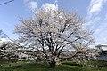 横河の桜 - panoramio.jpg