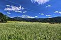 白馬村のそば畑 02.jpg