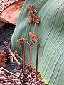 百歲蘭-雄花 Welwitschia mirabilis -日本大阪鮮花競放館 Osaka Sakuya Konohana Kan, Japan- (42205789491).jpg
