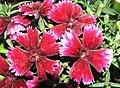 石竹 Dianthus chinensis Fire Carpet -香港北區花鳥蟲魚展 North District Flower Show, Hong Kong- (9450640344).jpg