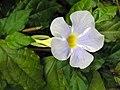 硬枝老鴉嘴 Thunbergia erecta 'Fairy Moon' -新加坡植物園 Singapore Botanic Gardens- (9200880602).jpg