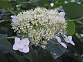 繡球屬 Hydrangea arborescens ssp radiata -阿姆斯特丹植物園 Hortus Botanicus, Amsterdam- (9229776532).jpg