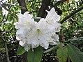 耳葉杜鵑 Rhododendron auriculatum -英格蘭 Wisley Gardens, England- (9240227198).jpg