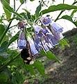 聚合草屬 Symphytum × uplandicum -維也納大學植物園 Vienna University Botanical Garden- (28362493930).jpg
