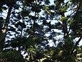 肯氏南洋杉 Araucaria cunninghamii - panoramio.jpg