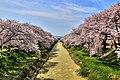 舟川の桜 - panoramio (2).jpg