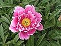 芍藥-荷塘秀色 Paeonia lactiflora 'Lotus Pond Beauty' -北京植物園 Beijing Botanical Garden, China- (12403894873).jpg