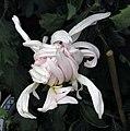 菊花-舞環 Chrysanthemum morifolium -香港雲泉仙館 Ping Che, Hong Kong- (12065011144).jpg