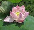 蓮花-洪湖一號 Nelumbo nucifera 'Honghu -1' -深圳洪湖公園 Shenzhen Honghu Park, China- (14226117957).jpg