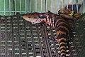 藍舌蜥 Tiliqua scincoides - panoramio.jpg