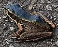 藍色斯文豪氏赤蛙3.jpg