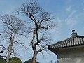 道明寺天満宮のムクロジの木 Soapberry trees in Dōmyōji-temmangū 2012.3.16 - panoramio.jpg