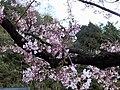 阿里山櫻花 Alishan Sakura - panoramio (1).jpg
