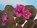 非洲紫羅蘭 Saintpaulia Ma's Fleur de Lis -香港北區花鳥蟲魚展 North District Flower Show, Hong Kong- (31766049391).jpg