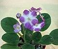 非洲紫羅蘭 Saintpaulia Tiyuan's Plum Pie -香港北區花鳥蟲魚展 North District Flower Show, Hong Kong- (24066494651).jpg