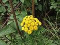 -2018-08-27 Common Tansy (Tanacetum vulgare) Heath Lane, Trimingham, Norfolk.JPG