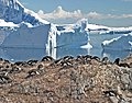 00 0018 Breeding colony of Gentoo Penguins (Antarctica).jpg
