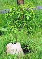 02015.06 Staphylea pinnata - Pimpernuss, Beskiden.JPG