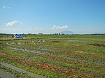 03326jfBirds Ducks Wetland Rice Fields Candaba Pampangafvf 10.JPG