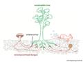 03 02 10 c 5a ectomycorrhizae in their habitat, Boletales Basidiomycota (M. Piepenbring).png