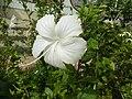0581jfHibiscus rosa-sinensis White Pink Cultivarsfvf 09.jpg