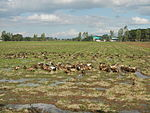 09383jfRoads Paddy fields Domesticated ducks Bahay Pare Center Candaba Pampangafvf 22.JPG