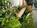 0985jfHibiscus rosa sinensis Linn White Pinkfvf 21.jpg