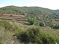 127 Vinyes de les Rocasses (Vespella de Gaià), al fons el camí de Salomó.jpg