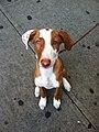 12 Week Ibizan Hound Puppy (6962509784).jpg