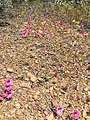 170512-FS-Inyo-001-MonkeyFlowers (34739012405).jpg