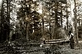 1923. Burning small trees in piles to control western pine beetle. Southern Oregon Northern California cooperative control project. (36220071401).jpg