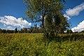 20120721 Береза в восточной части парка усадьбы Ухтомских.jpg