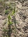 20120731Amaranthus retroflexus1.jpg