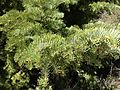 2013-06-27 14 37 18 Closeup of White Fir foliage on the western slopes of Spruce Mountain, Nevada.jpg