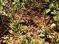 2013-08-25 11 42 42 Reddish sphagnum moss along the northeast shore of the cove of Spring Lake in Berlin, New York.jpg