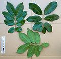 2013.11-411-172 Akee,leaves(e-s) Bobo-Dioulasso,BF thu14nov2013-1025h.jpg